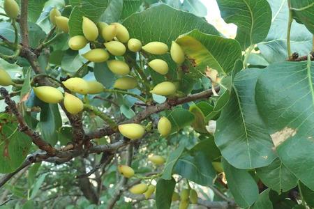 Pistacia vera bunch on a pistachio branch tree