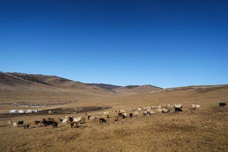 Cattle sheeps walking on a mongolian steppe grassland