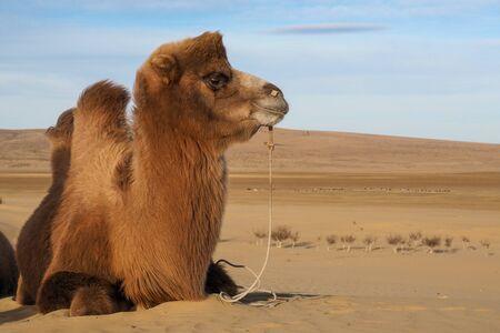 Camel resting in a mongolian gobi desert