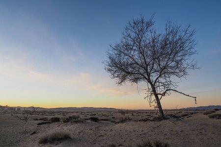 Dead tree in a mongolian gobi desert during sunset
