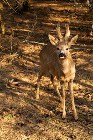 Young cute roe deer in sunset light in national park forest outdoors. Brown and yellow colors photo.