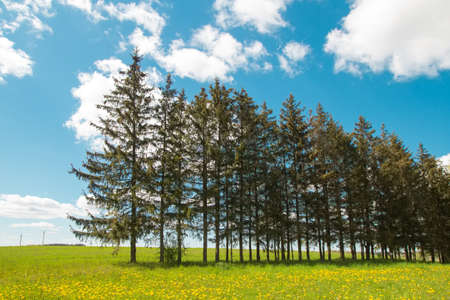 Pleasant sunny summer landscape: old blue sky and clouds, green grass, yellow dandelion flowers on a meadow and dark fir tree silhouettes. A happy idyllic scenery view.