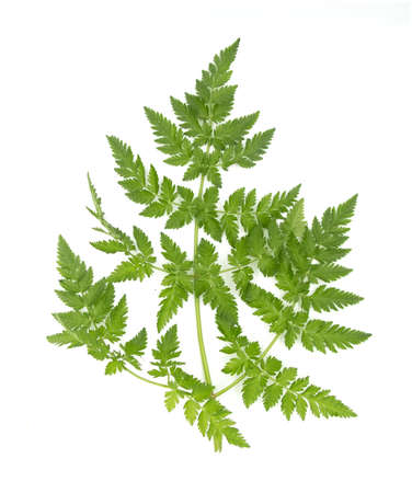 Anthriscus caucalis aka bur-chervil plant leave isolated on white background. For biology books or posters, cards decoration, invitation design. Stock Photo