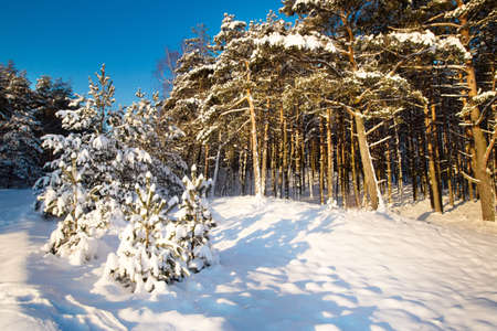 Snow Curonian Spit dunes in January winter sunny day. Blue sky and sea, forest evergreen trees in snow. Wonderful fairytale Christmas New Year weather. Kursiu Nerija, near Klaipeda city in Lithuania