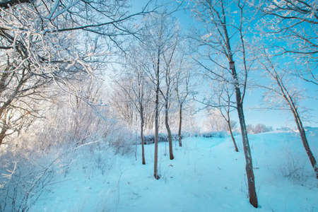Blue sky, sunny weather. forest trees in snow. Wonderful fairytale Christmas New Year weather. Winter background for presentation slides, cards, webside design 版權商用圖片
