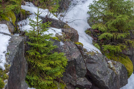 small green spruce on a rock in the snow in the mountains. Banco de Imagens