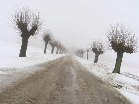 poplars: Alley with pollarded poplars a foggy January day.