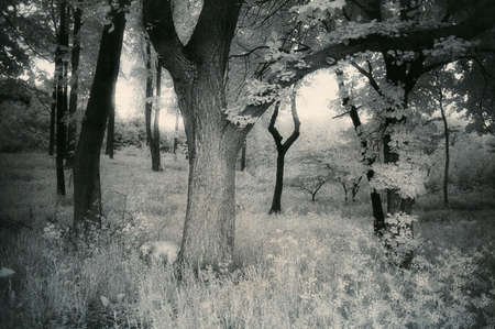 infrared: A silent fresh summer morning with a smell of wood in your nose and a sound of birds in your ears. Analog infrared capture. Silvergrains to be seen. Stock Photo
