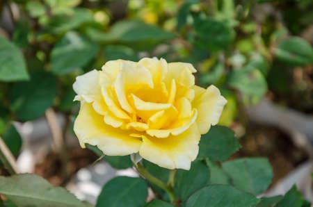 yellow roses: Amarillo rosas en el jard�n