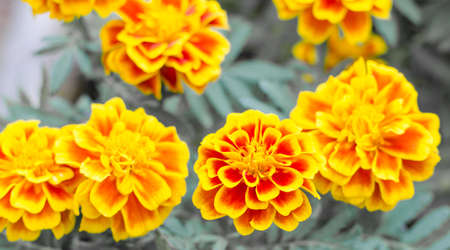 French marigolds flower in the garden Stock Photo