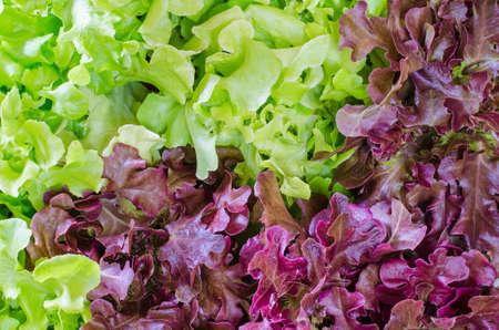 Fresh Salad leaves with Green Oak, Red Leaf Lettuce Фото со стока
