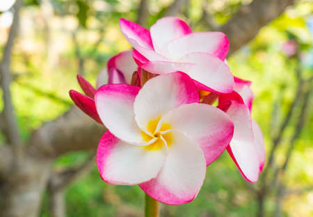 Pink plumeria on the plumeria tree in garden, frangipani tropical flowers