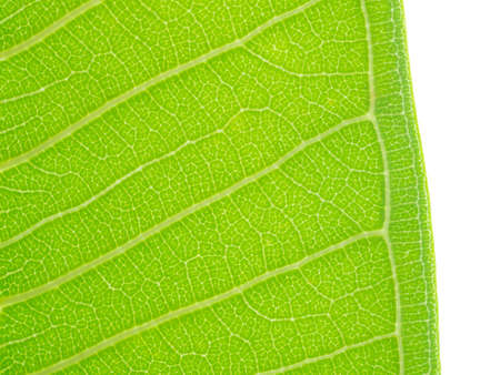 Texture green leaf isolated on white background ,Surface Green leaf