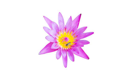 Pink lotus blossoms,Pink flower isolated on white background with