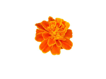 French marigolds flower,Orange flowers isolated on white background with Фото со стока