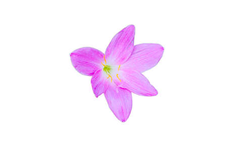 blooming beautiful pink flower isolated on white background with clipping path