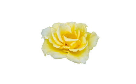 Yellow roses isolated on white background with clipping path