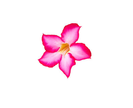 Beautiful Pink Adenium flower,pink flower isolated on white background with clipping path