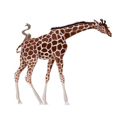 camelopard: Giraffe, vector illustration Illustration