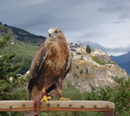 sparrowhawk: Falcon on its perch and medieval castle in the background