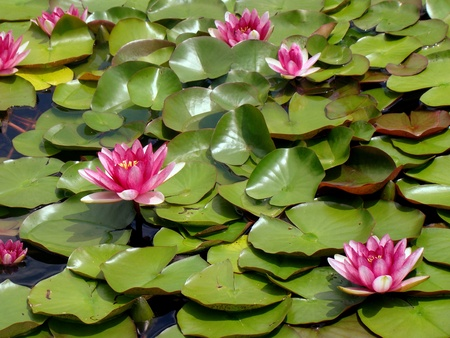 lirio acuatico: Lirios rosados ??de agua en el estanque Foto de archivo