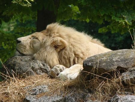 眠っているライオン岩の上 写真素材