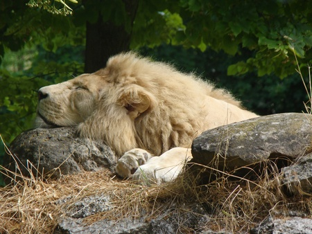 Sleeping lion on the rock