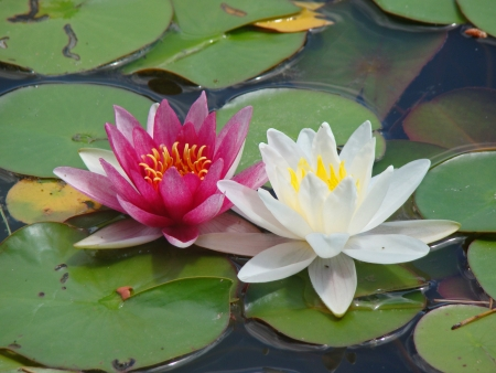 White and Pink water lilies on the pond photo