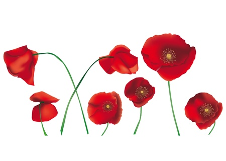 red poppies on green field: poppies isolated on white background