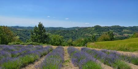 lavendin: Lavender Field in Piedmont, Langhe Region, Italy