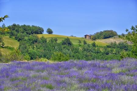 herbolaria: Campo de la lavanda en el Piamonte, Langhe, Italia