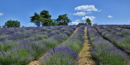 Lavender Field in Piedmont, Langhe Region, Italy