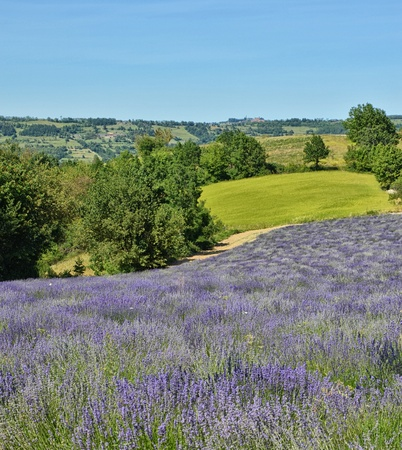 Lavender Field in Piedmont, Langhe Region, Italy photo