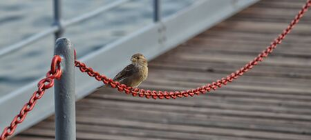 Little Sparrow on a Chain of the Dock of the Lake