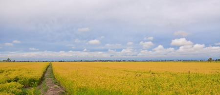Paddy Field in Italian Countryside