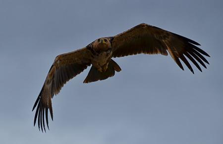 African rapacious in the Serengeti National Park (Tanzania)