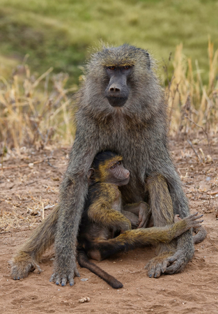 Baboon with young in the Serengeti National Park (Tanzania) Banco de Imagens