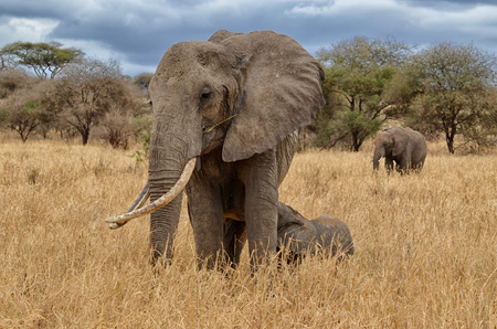 Elephant nursing in the Serengeti National Park (Tanzania) Banco de Imagens