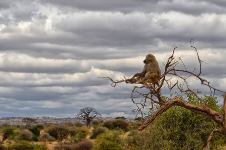 Lonely baboon watching African landscape