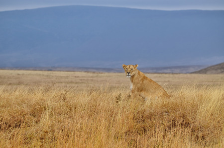 Lonely lioness sitting on the African savanna in the Serengeti Park (Tanzania) Banco de Imagens