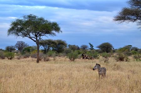 Lonely Zebra in the Tarangire National Park (Tanzania) Banco de Imagens