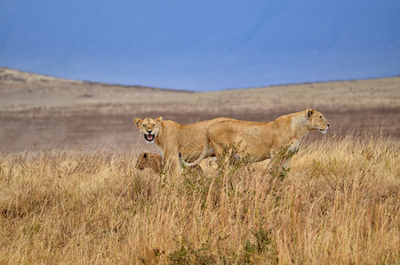 Two lionesses with a young lion in the Serengeti National Park (Tanzania)