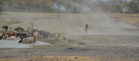 Masai man with cattle in Tanzania