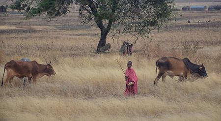 Masai children with cattle in Tanzania Editorial