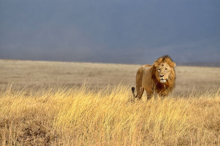 Lonely Lion in the Serengeti National Park (Tanzania) Banco de Imagens