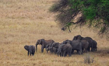 Herd of Elephants in Serengeti National Park, Tanzania Banco de Imagens