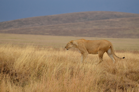 Lonely lioness walking in the Ngorongoro National Park (Tanzania)