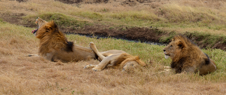 Three lions in relax in the Ngorongoro National Park, Tanzania Banco de Imagens