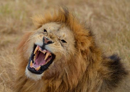 タンザニア ンゴロンゴロ国立公園でとどろくライオン