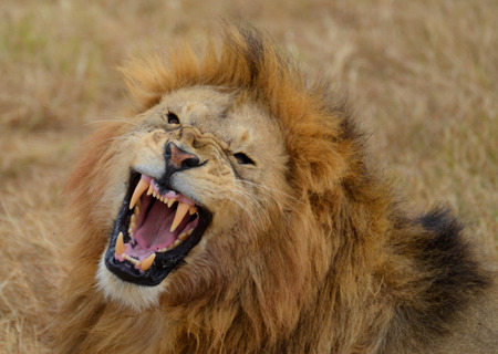 Roaring Lion in the Ngorongoro National Park, Tanzania